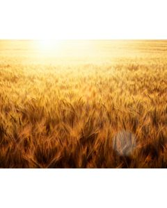 Photography Background in Fabric Wheat Field / Backdrop 1759