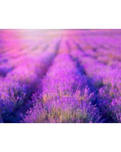 Photography Background in Fabric Lavender Field/ Backdrop 1760